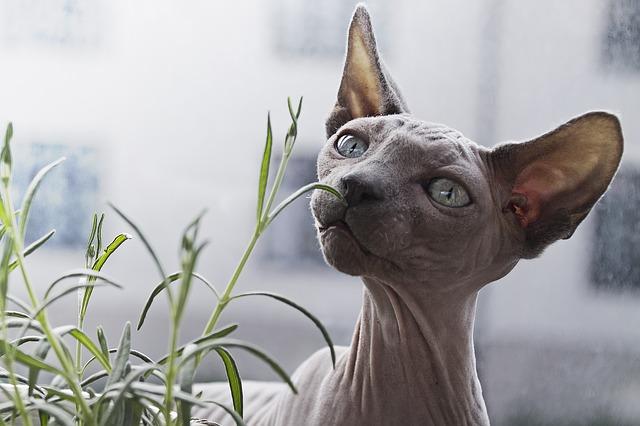 bezsrstá kočka